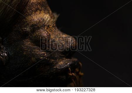 Close up of half face of a shrunked human head from ecuador over a dark background.