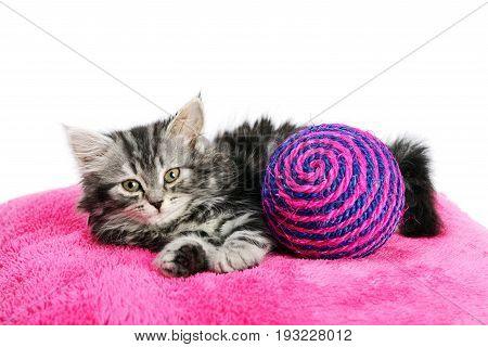 Beautiful gray kitten laying on pink pillow