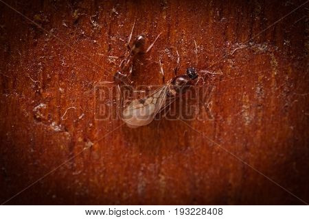 Wood ants, Formica extreme close up with high magnification, carrying their eggs to anew home, in a wooden background.