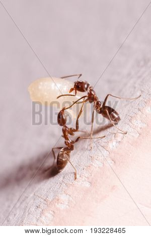 Wood ants, Formica, carrying their eggs to anew home, this ant is often a pest in houses, in a white background.