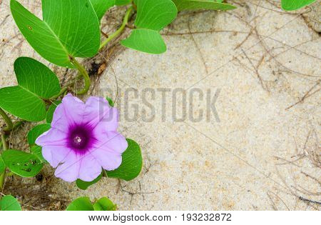 close up Ipomoea pes-caprae, Ipomoea antidote jellyfish. Goat's foot creeper flower on white sand background, copy space