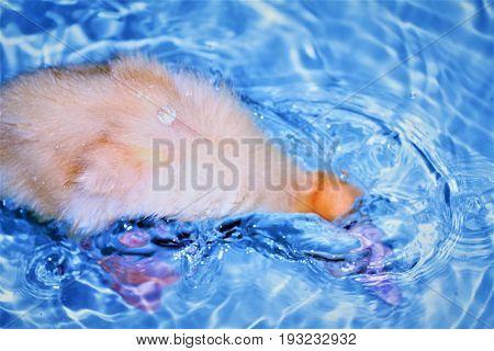 A Baby Pekin Duck Dunking Its Head in Water in a Bathtub
