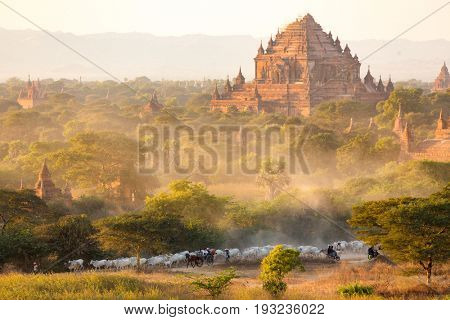 Burmese shepherdess leading her herd back home at sunset in an amazing landscape, Bagan, Myanmar