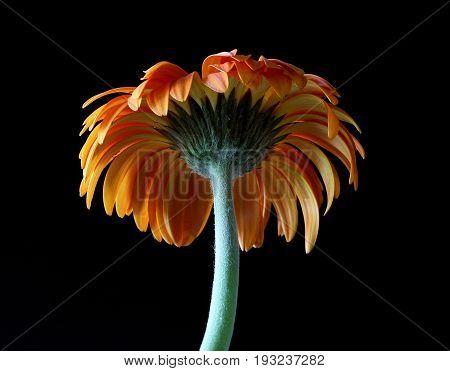 Orange gerbera flower isolated on black background