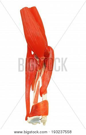 Plastic study model of the extensor carpi radialis brevis isolated on white background clipping path.