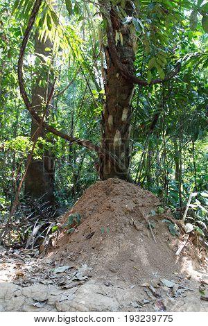 Gigantic ant hill at the Tambopata Reserve, Peru