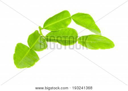 Green leaves isolated. Citrus leaves. Kaffir lime. Leech lime. Mauritius papeda.