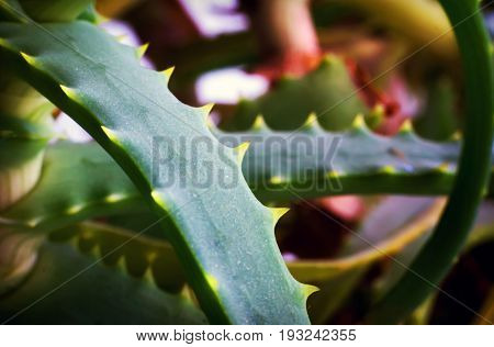 The Aloe Plant