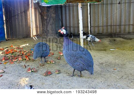 Guinea Fowl birds on the farm yard