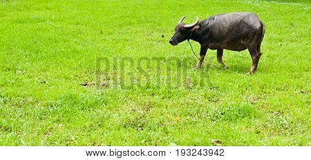 Buffalos : animals, mammals, pets, Cape buffalo standing in a field of grasses,feed cattle as the labor to plow, used as a vehicle to buffalo farm. Buffalo Killers and carnivorous
