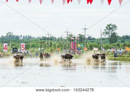 CHONBURI THAILAND - JUNE 18 2017: Buffalos racing on rice farm the annual event in Chonburi Thailand