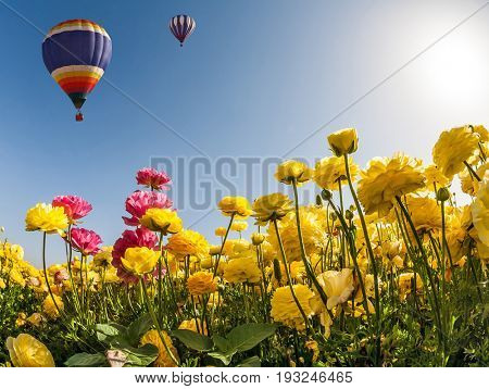 The concept of recreation and eco-tourism. Huge multicolored balloon flies slowly over field of garden buttercups. Neverland sun, flowers and balloon