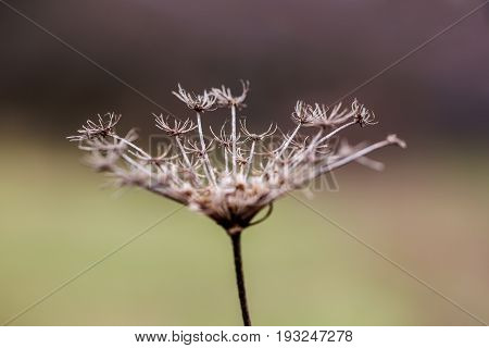 Inflorescence of a dried umbellate plant. Symbol of sadness and loneliness. Selective focus