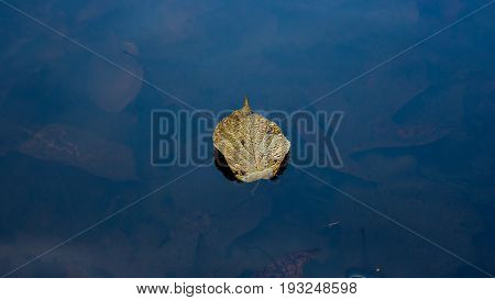 Image of a leaf floating alone with leaves underneath the water.