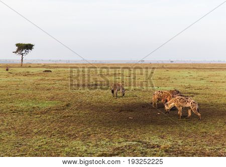 animal, nature and wildlife concept - clan of hyenas in maasai mara national reserve savannah at africa