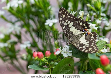 Asian Tiger Butterfly catch on white flowers.