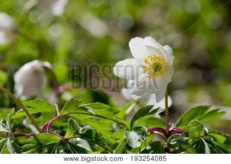 Closeup of wood anemone flower (anemone nemorosa) blooming in spring forest in Finland.