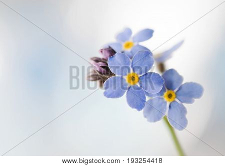 Close up of blooming  forget-me-not or myosotis  flower.
