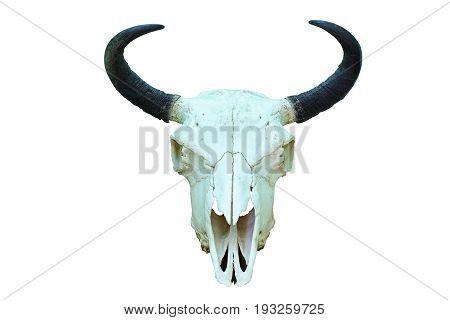 european bison skull hunting trophy isolated over white background ( Bison bonasus )