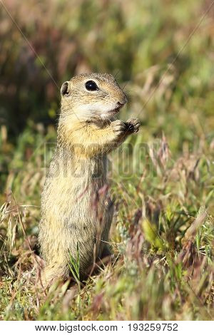 european ground squirrel closeup image of wild animal taken in natural habitat ( Spermophilus citellus ) listed as vulnerable by IUCN endangered species