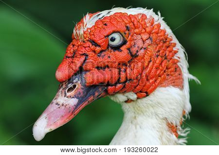portrait of domestic ugly muscovy duck ( Cairina moschata )