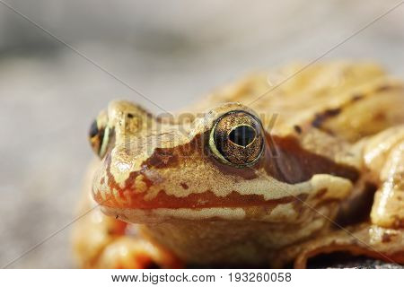 portrait of wild Rana temporaria the european common brown frog poster