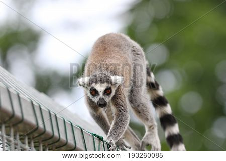 ring tailed lemur close up animal escaped at the zoo walking free on top of the cage ( Lemur catta )