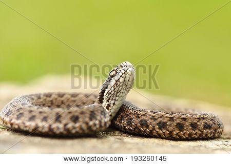 young colorful meadow viper ready to bite ( Vipera ursinii rakosiensis the rarest european snake )