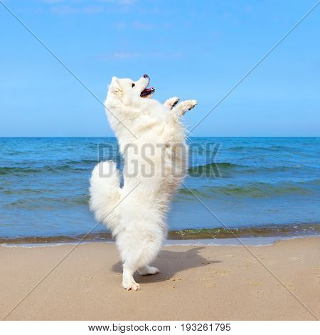 White dog Samoyed dancing on the beach in the background of the summer sea. Dog is happy and stands on its hind legs