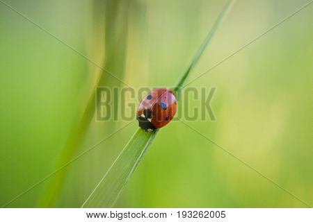 Red ladybug in the grass, macro and closeup photography