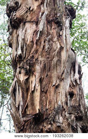 Australian Blue Mountains ash eucalyptus gumtree peeling bark