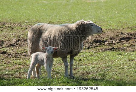 A Mother Ewe Sheep with Her Baby Lamb.