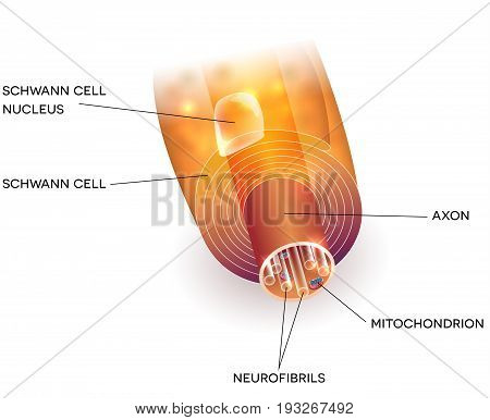 Axon And Myelin Sheath