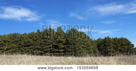 Green fir forest against the blue sky of resort Kislovodsk,Caucasus,Russia.