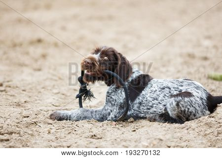 German Wirehaired Pointer puppy with a rope in his teeth