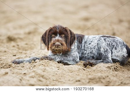 German Wirehaired Pointer puppy is lying on the sand