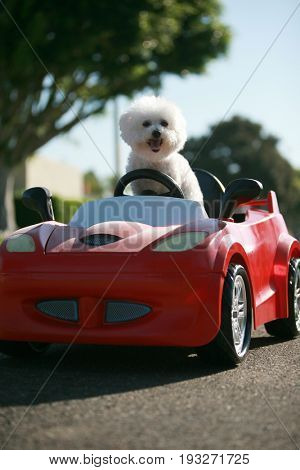 Bichon Frise Dog enjoys a ride in a pedal car. Fifi the Bichon Frise, takes her Red Hot Rod Pedal Car out for a ride. Dogs love car rides.