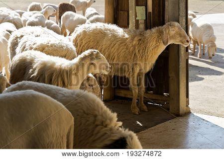 cute sheep at a farm in countryside