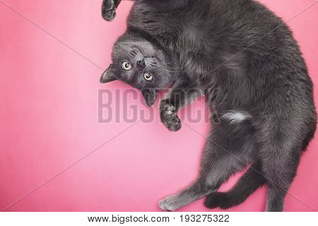 grey funny cat posing. grey cat on the pink background. grey funny cat looking at camera. cute grey cat top view
