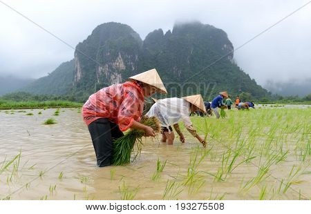 VANG VIENG LAOS - AUG 2: Unidentified farmers're transplant rice seedlings on Aug 22015 in Vang Vieng Laos