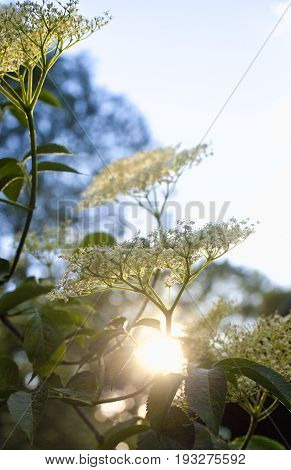 Closeup of Elderberry Flower in Spring at Sunset