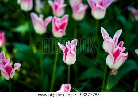 Fringed tulip Queensland. Terry fringed pink tulip. Pink tulip fringed with white ragged edges