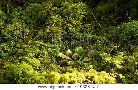 Green Dionaea muscipula nature background for design