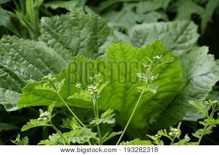 image of a large verbascum leaf fronted by stems of feverfew flower buds