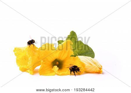Bees On Zucchini's Flowers