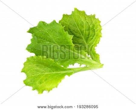 Salad leaf. Lettuce isolated on white background. Fresh green lettuce leaves.