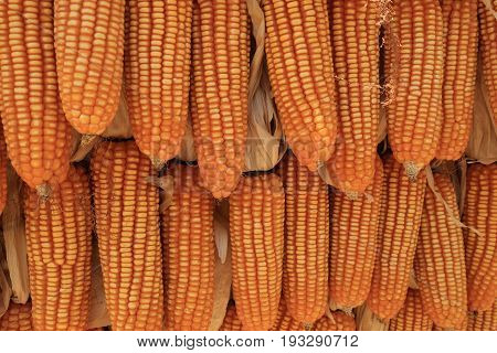 Yellow dried corns hanging in rows for background.