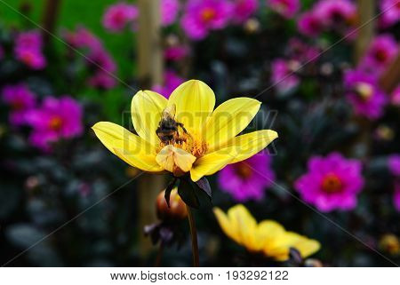 Yellow flower Dahlia with bee in the garden