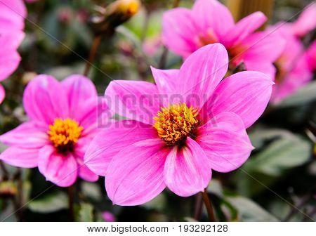 Pink flower Dahlia in the garden close up