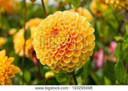 Yellow flower Dahlia Elsia May in the garden